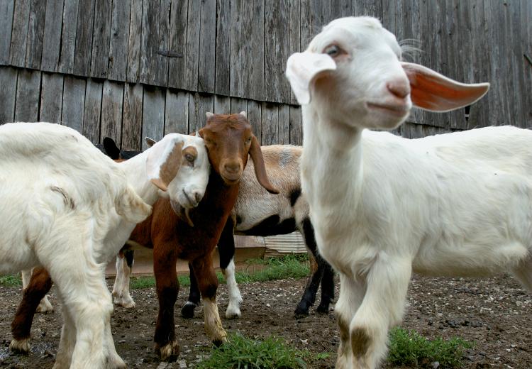 Boer Goats raised for meat