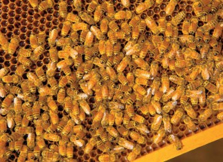 Honeybees in a beehive on a honeycomb
