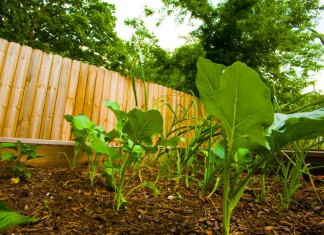 Broccoli grows in a raised bed garden