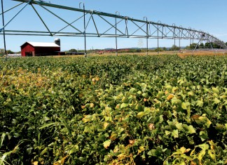 Soybeans growing at the UT Experiment Station