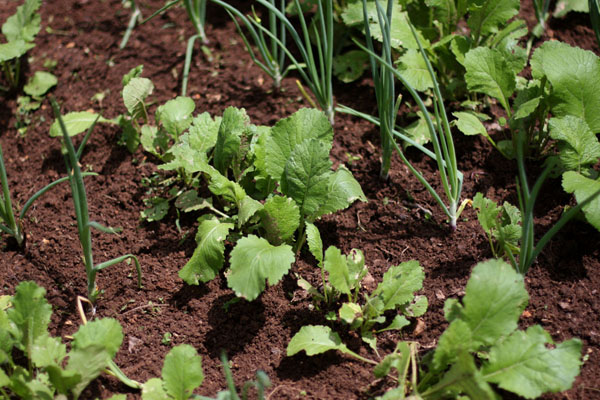 Spring greens in the garden