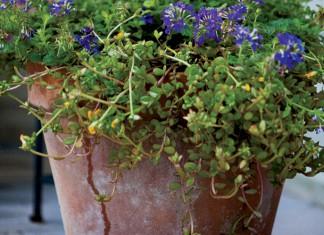 Container flower garden plants