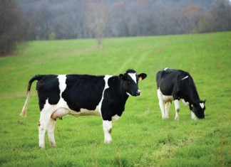 Wisconsin dairy cows