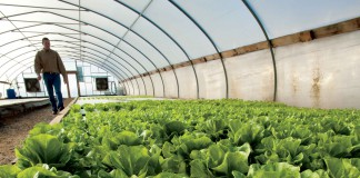 Alabama catfish farm diversifies its operation with tilapia and hydroponic lettuce
