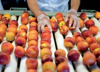 Georgia Peaches at Dickey Farms