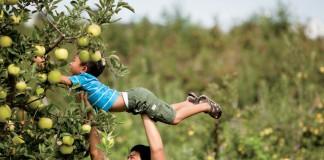 Families Pick Apples at Mercier Orchards in Blue Ridge, Georgia