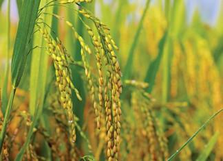 Mississippi Rice
