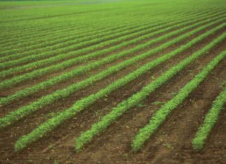 Mississippi Soybeans