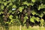 Texas wine industry
