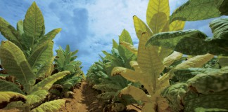 Tobacco plants at Downs Farms in Lebanon, KY.