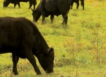 Virginia angus beef cattle