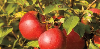 Uncle Johns Cider Mill Red Delicious Apples
