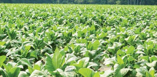 South Carolina Tobacco