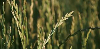 Oregon Grass seed