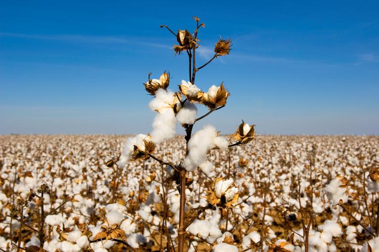 Kings of Cotton | Farm Flavor