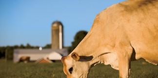 dairy farming milk cows