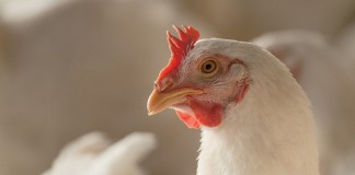 Indiana poultry