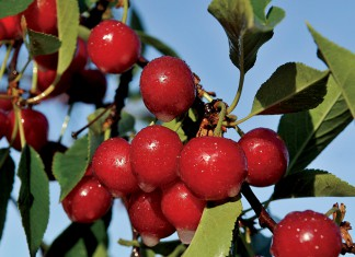 Utah tart cherries