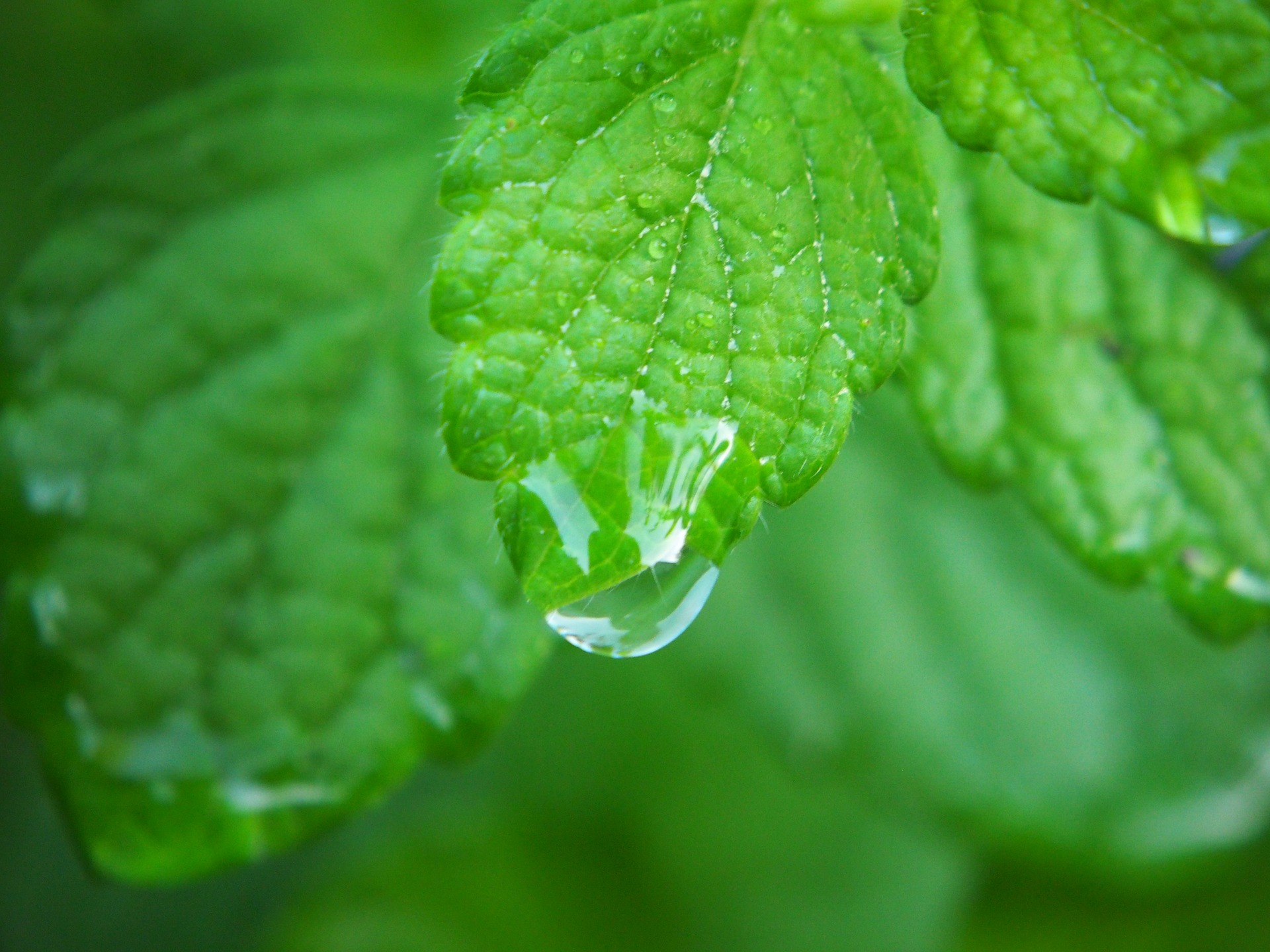 Uses For Lemon Balm In The Garden And Kitchen Farm Flavor