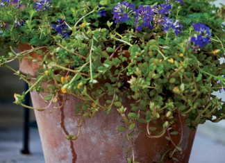 Container flower garden plants