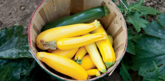 Summer Squash and Zucchini in Basket