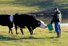 Mel Maxwell feeds beef cattle in Cookeville, Tennessee.