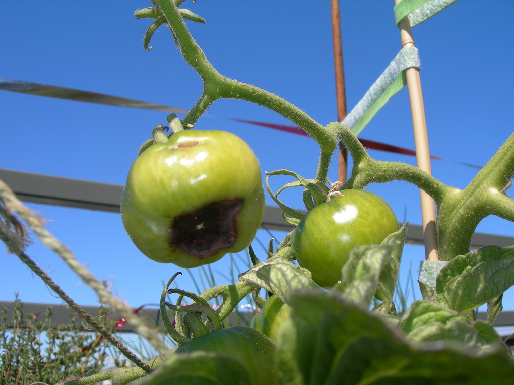 How To Prevent Blossom End Rot On Tomatoes Farm Flavor