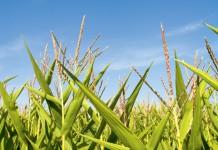 Alabama Corn
