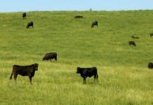 Virginia Cattle