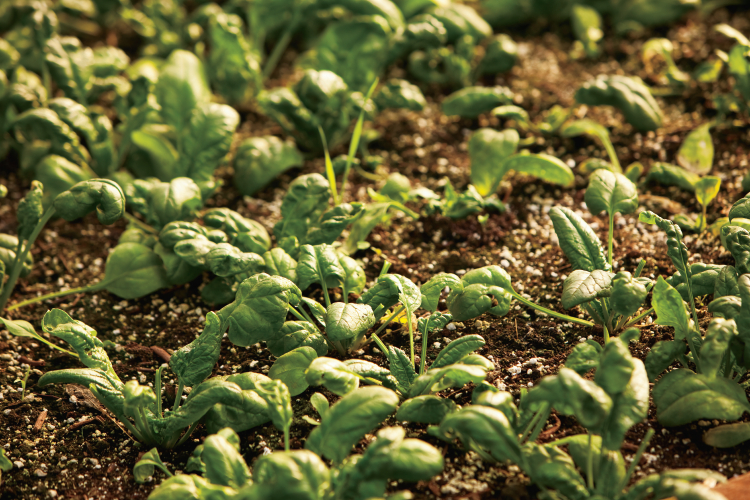 Farm Facts: Spinach