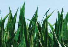 Illinois corn
