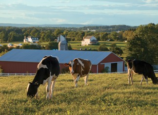 New Jersey Dairy Cows