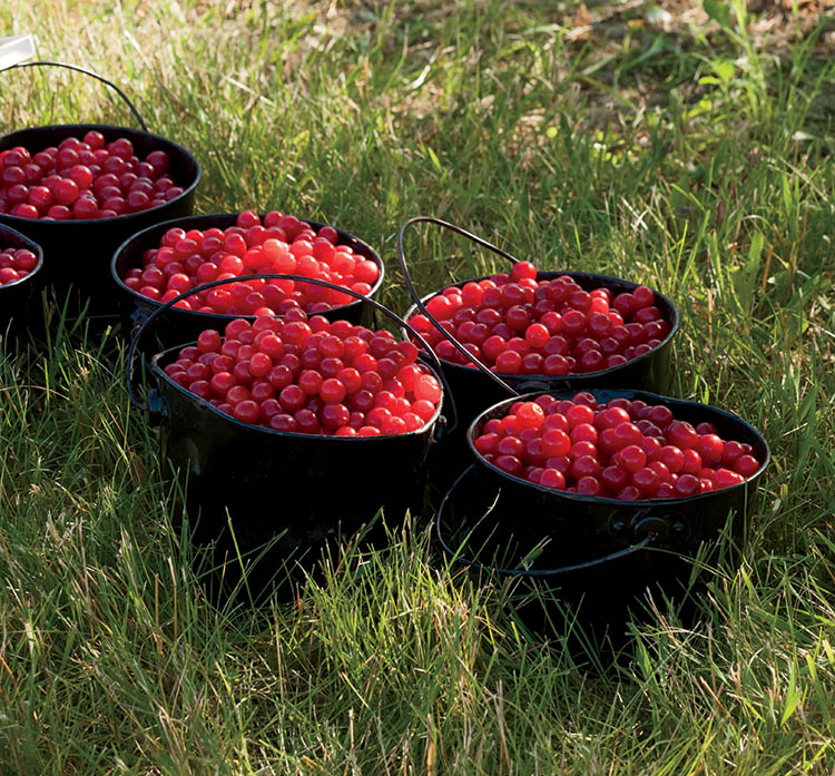 10 Things You Didn T Know About Cherries Farm Flavor