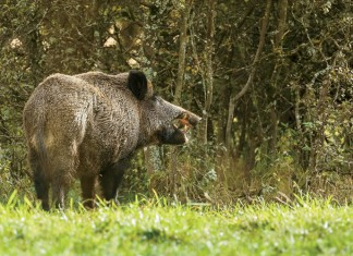Wild boar, eating fallen apples