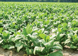 South Carolina Tobacco