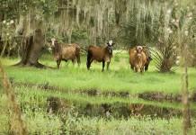 Florida cattle