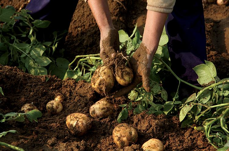 how to grow irish potatoes in uganda