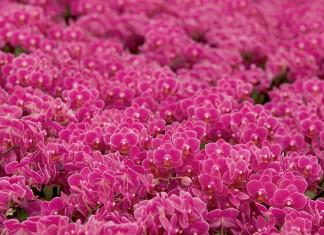 Ohio Orchids