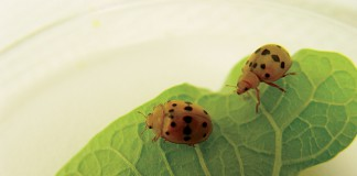 Mexican Bean Beetle adults
