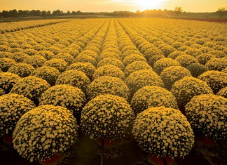 Mums Flowers, NJ