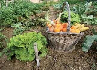 Picking of vegetables in the garden