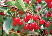 Montmorency Tart Cherries