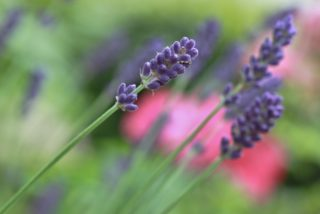 Wisconsin Lavender Farms Offer a New Ag Experience | Farm Flavor