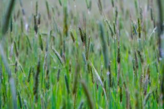 foods that grow in Wyoming, barley