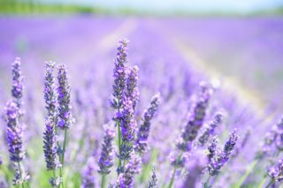 Wisconsin lavender farms