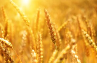 foods that grow in Wyoming, wheat