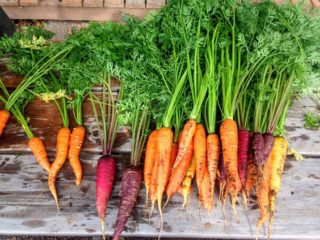 companion gardening; carrots