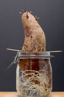 growing a sweet potato in a jar