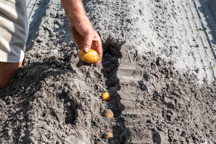 Florida potatoes