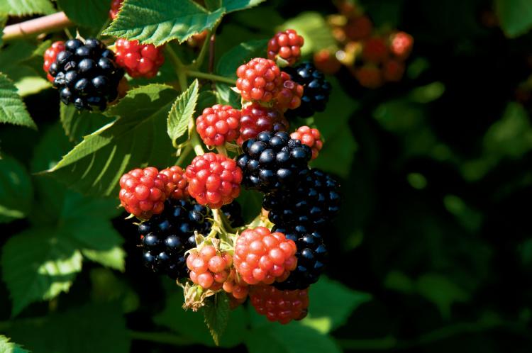 breeding berries